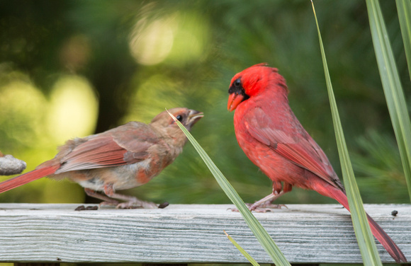 father cardinal (R) with hungry youngster (L)