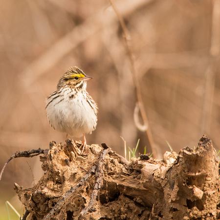 Savannah Sparrow (I think) 4/27/15