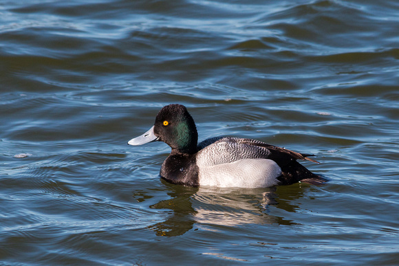 Male Greater Scaup - Irondequoit Bay Outlet 3/23/15
