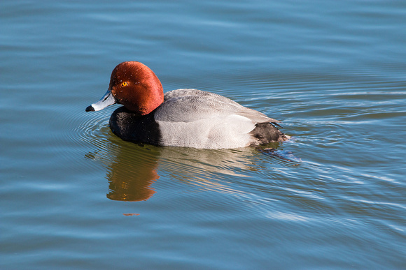 Redhead - Irondequoit Bay Outlet 3/23/15