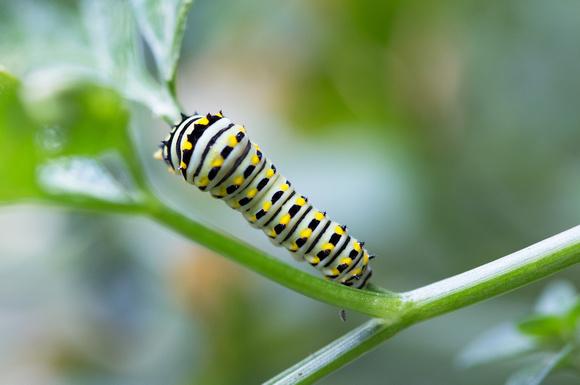 7/31/16 Black Swallowtail Caterpillar on my parsley