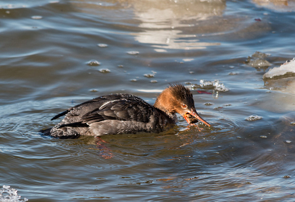Female Red Breasted Merganser -Irondequoit Bay Outlet 3/23/15