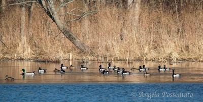 Ring-Necked Ducks and a mallard