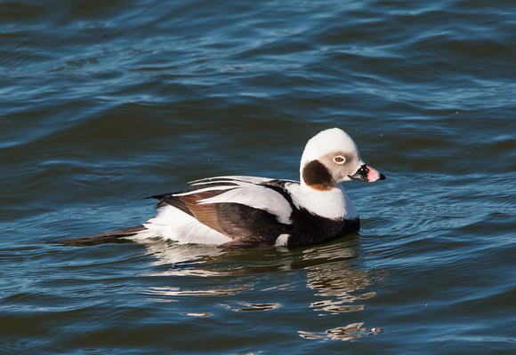 longtailed duck Irondequoit Bay Outlet 3/23/15