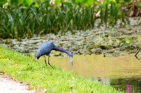 Little Blue Heron at Middleton Place
