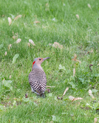 Northern Flicker in the front yard