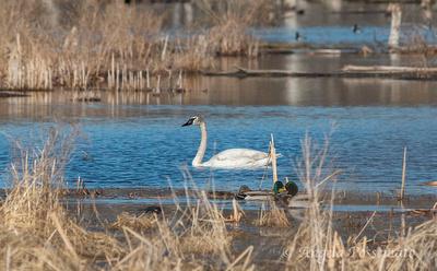 Trumpeter Swan - April 6, 2014