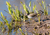 Spotted Sandpiper 5/8/16