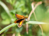 a Least Skipper (I think)