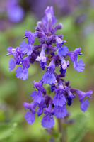 IMG_2948CatMint