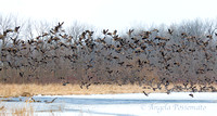 spring geese migration - lift off!