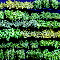 a wall of herbs in a cafe