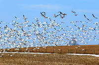 Snow Geese - Rte 31F & 350. March 7
